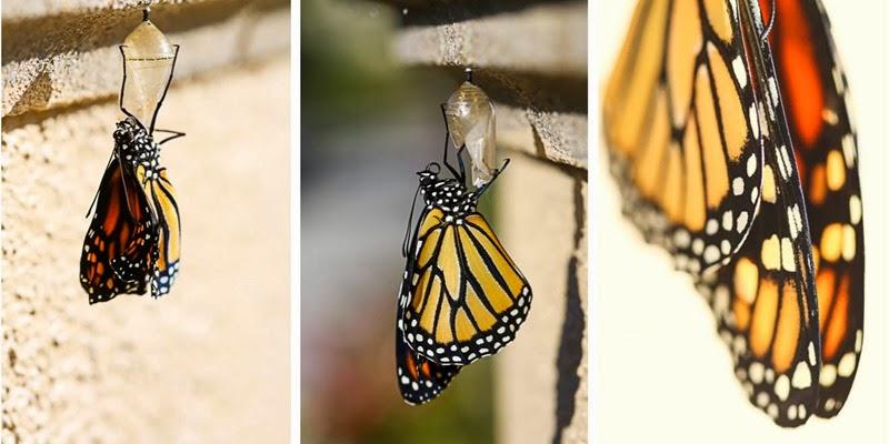 emerging monarchs-10