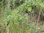 Unidentified flowering shrub, AZ Trail - wash - 4/16
