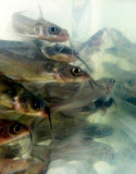 Fish Reared in Hard Water are More Susceptible to Columnaris Disease