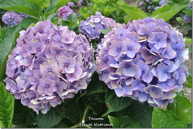 陽明山繡球花 (26)