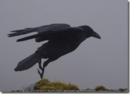 Raven at Clach Glas