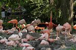 Zoo de Beauval - Flamands Roses
