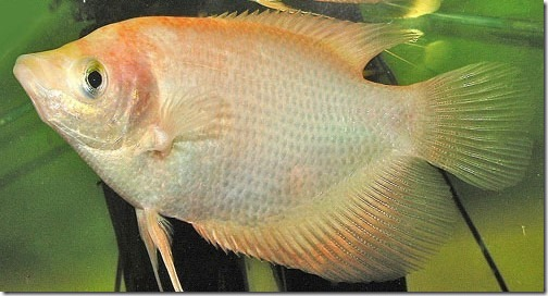 be-ca-canh-giant_gourami_cataituong004-be-thuy-sinh