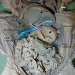 fetal_pig_digestive_labeled.jpg