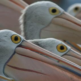 Pelican Eyes by William Greenfield - Animals Birds ( bird, nature, wildlife, pelican, birds, eyeball, eyes, eye )