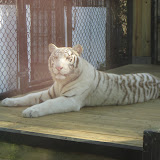 TIGERS Preservation Station - Myrtle Beach - 040510 - 14