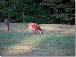 deer at Little Beaver St.Pk 020