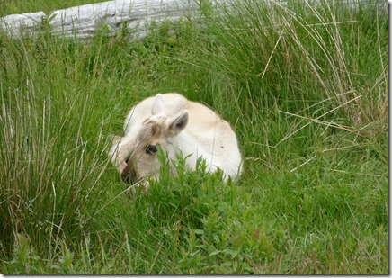 nl_argentia_salmonier_baby_caribou