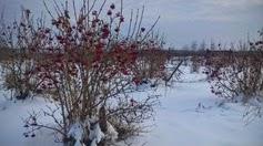 Viorne Aubier (Kalina) à Orlovka, hiver 2015