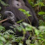 Gorilla-Junges im Bwindi Nationalpark © Foto: Marco Penzel | Outback Africa