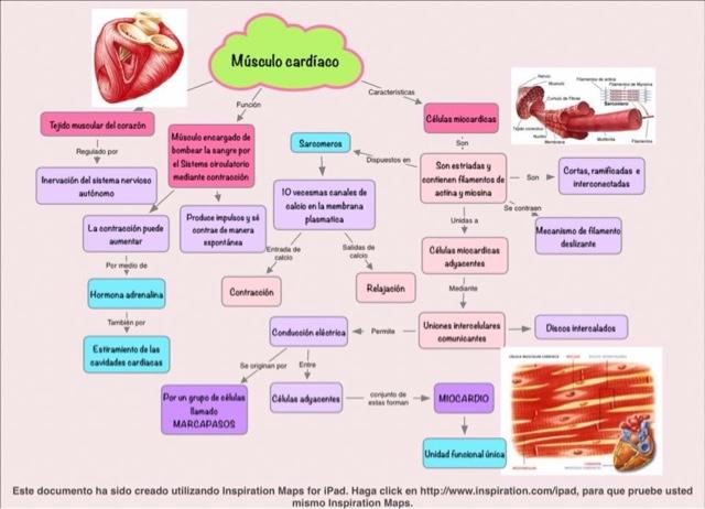 Fisiología medica: Músculo cardíaco