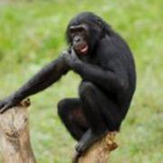 Vallée des Singes bonobo