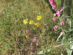 Unidentifed yellow flower 4/12