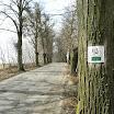 527 (2) drzewa zaatakowane jemiołą.JPG