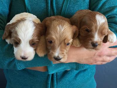 adorable male labradoodle puppies
