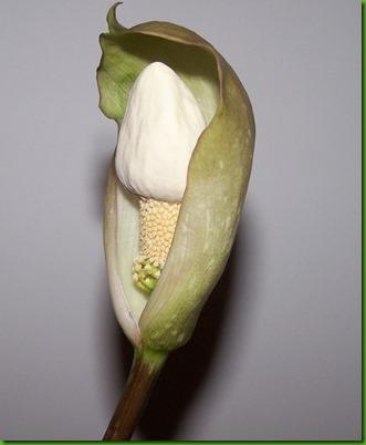 Amorphophallus thaiensis