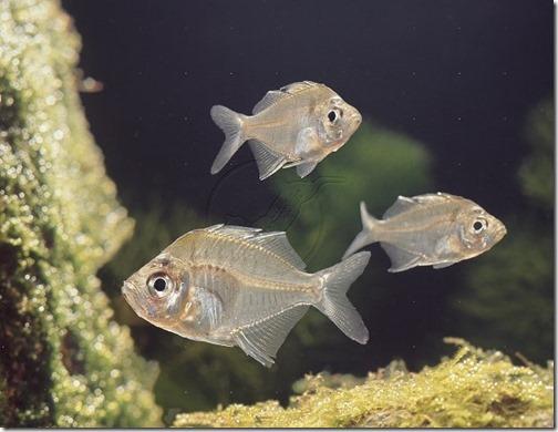 Siamese Glass-fish (Chanda wolfii)