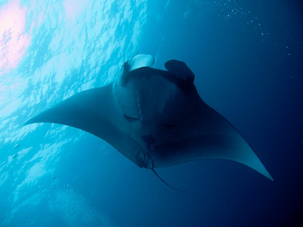Manta Ray Facts: