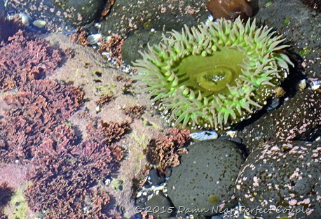 Green Sea Anenome