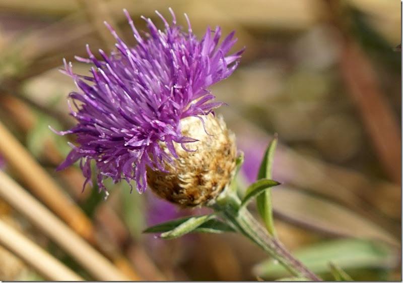 lopez purple flower 072215 00000
