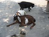 Goats at the Nashville Zoo 09032011