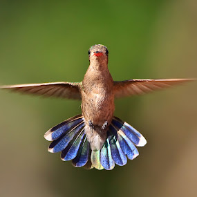 Head On Hummer by Herb Houghton - Animals Birds ( fantastic wildlife, hummer )