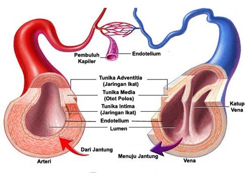 fungsi pembuluh darah