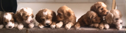 gorgeousdoodles labradoodle puppies