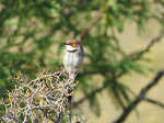 Rufous-eared warbler (photo by Clare)