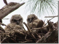 Two owlets watching us