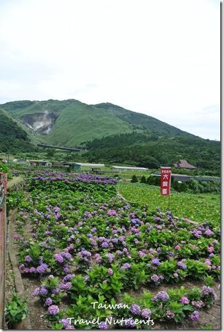 陽明山繡球花 (2)