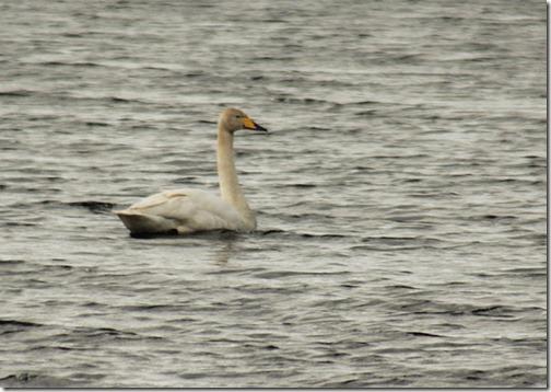 14-whooper-swan