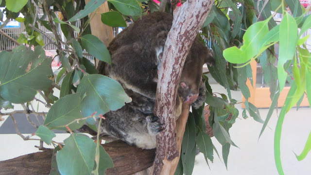 Fleet, the poor koala that was shot seven times.
