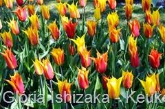 Glória Ishizaka - Keukenhof 2015 - tulipa 5