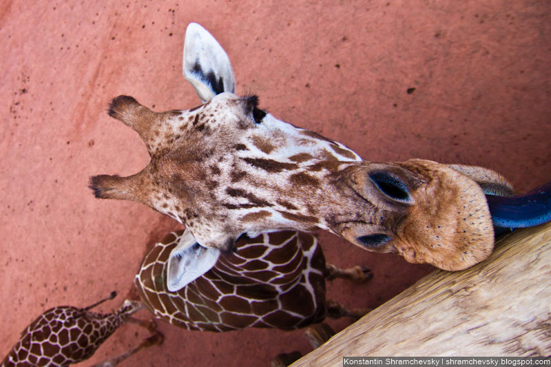 USA Colorado Cheyenne Mountain Zoo Giraffe США Колорадо Шайенн Маунтин Зоопарк Жираф