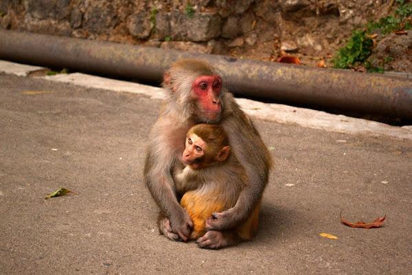 мартышка обезьяна северная индия