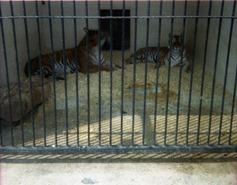 1981.06.24-017.08 tigres