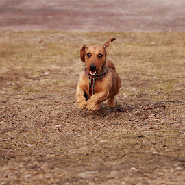on the move by Mona Martinsen - Animals - Dogs Running