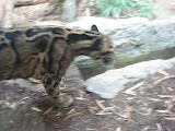 A clouded leopard at the Nashville Zoo 09032011b