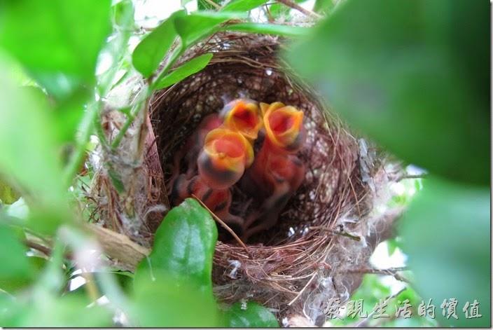 每次只要有一風吹草動,綠袖眼的雛鳥們就會張大了嘴巴,以為父母叼了食物回來餵食。