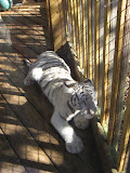 TIGERS Preservation Station - Myrtle Beach - 040510 - 06