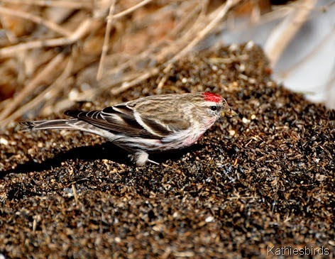 8. Common Redpoll-kab
