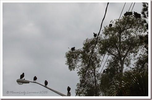 04-30-buzzards