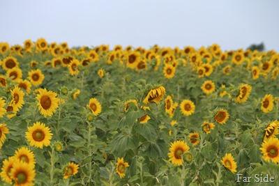 One sad sunflower