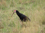 Southern bald ibis (photo by Clare)