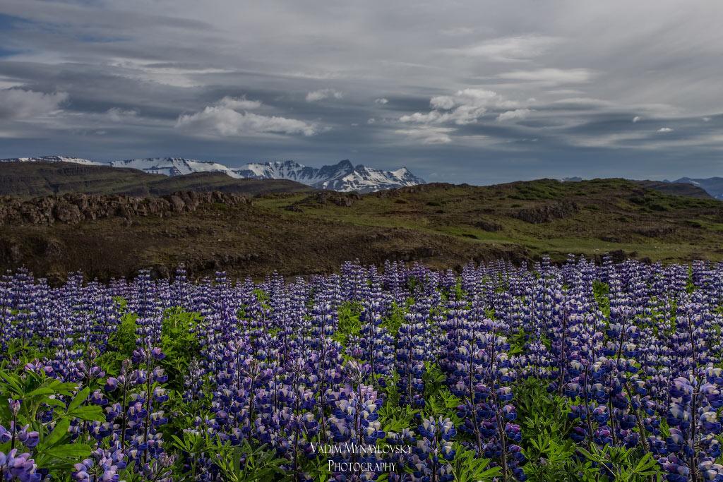 Люпиновое поле неподалеку от тропы троллей в Исландии - near Troll Trail in Iceland