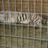 A white tiger exhibit at the Navy Pier in Chicago 01152012g