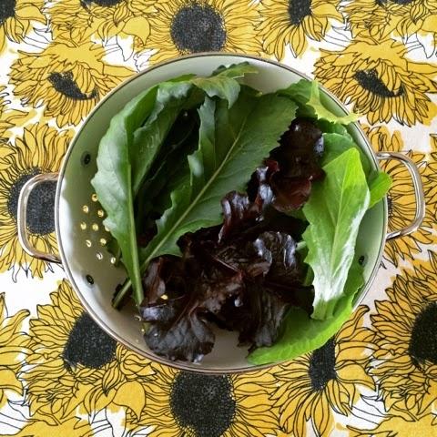 Organic lettuce, Gardening, Seattle