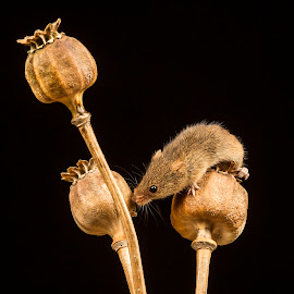 Harvest Field Mouse by Sandra Cockayne - Animals Other Mammals ( mouse, harvest mouse, harvest field mouse, sandi cockayne, nature close up, poppy, close up, mammal, poppy head, nature, field mouse, sandra cockayne, whiskers, natural )