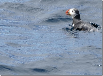nl_be_mb_puffins_thumb3